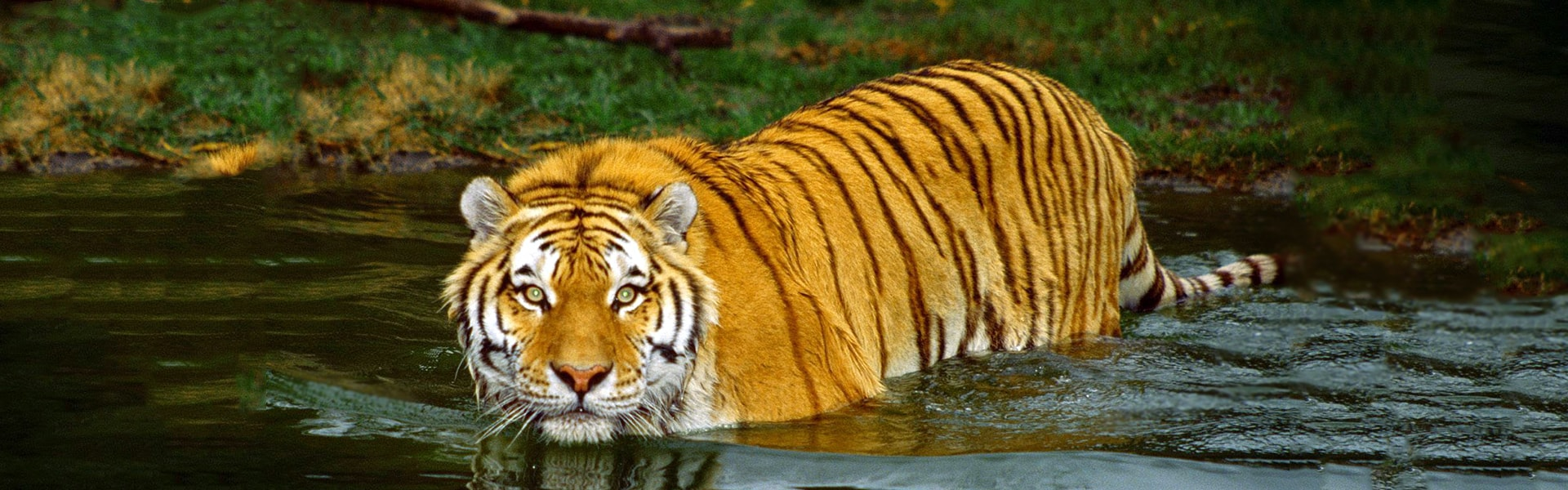 the-royal-bengal-tiger